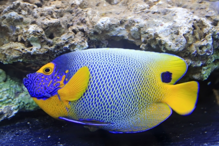 blue tang, marine coral fish, closeup of photo Stock Photo - 19231248