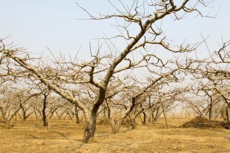 durazno seco en los campos en invierno, detalle de im�genes Foto de archivo - 19316272