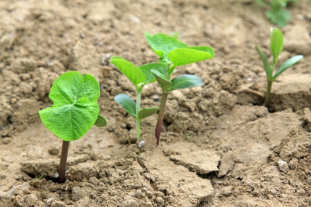 leguminous botany seedling in the field, north china Stock Photo - 20609424