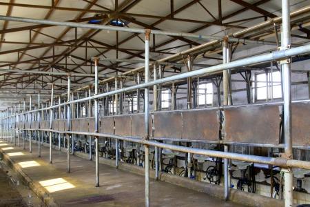 mechanization: Holstein cows in a mechanization milking hall in China