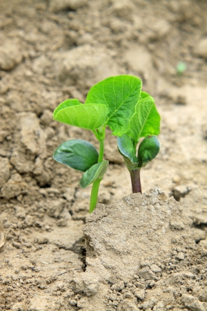 leguminous botany seedling in the field, north china Stock Photo - 20875078