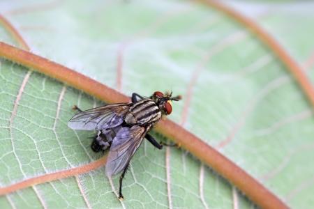 flesh: closeup of flesh fly on green leaf Stock Photo