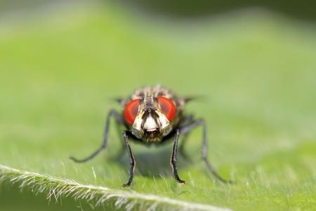closeup of flesh fly on green leaf photo