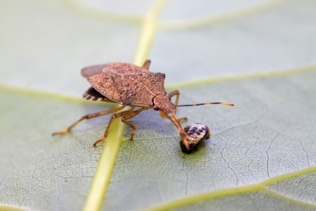 stinkbug hunting insect on green leaf in the wild natural state