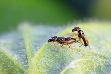 animal sex: flies insects on the leaves in the wild Stock Photo