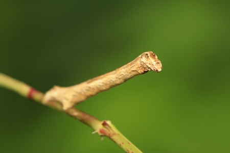 inchworm: a kind of insects named geometrid
