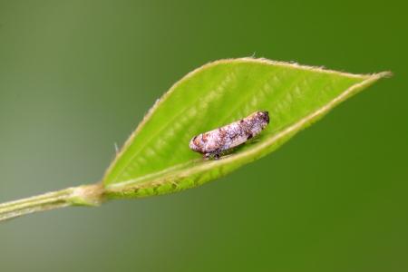 緑の葉の上の同翅亜目昆虫ツマグロヨコバイの種類