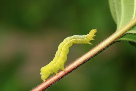 昆虫の種類名前 geometrid、写真のクローズ アップ
