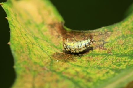 aphid: Big lacewing flies larvae - aphid lions on green leaf Stock Photo