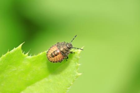larvae: stinkbug larvae on green leaf in the wild natural state