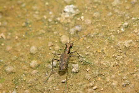 predatory insect: tiger beetles in the wild, closeup of photo