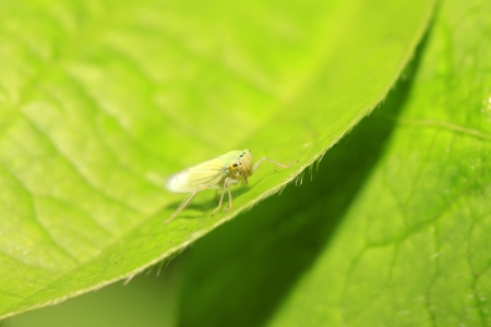compound eye: a kind of homoptera insects named leafhopper on green leaf