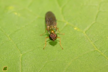 tabanidae: tabanidae insects on green leaf in the wild Stock Photo