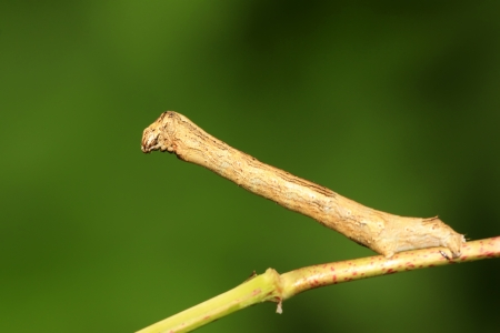inchworm: a kind of insects named geometrid, closeup of photo Stock Photo