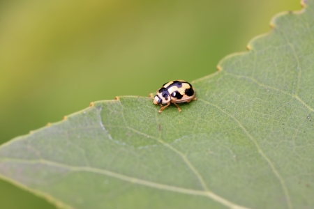 cilia: a ladybug on a green leaf in the wild Stock Photo