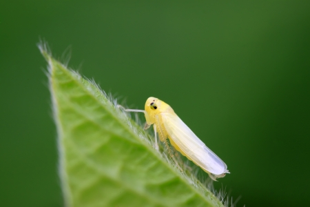 larvae: a kind of homoptera insects leafhopper larvae