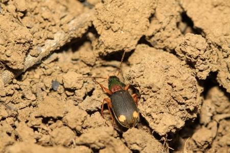 ground beetle: ground beetle in the wild, closeup of photo Stock Photo