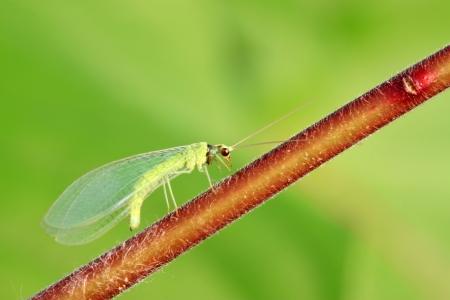 chrysope: chrysope vole sur la feuille verte dans la nature Banque d'images