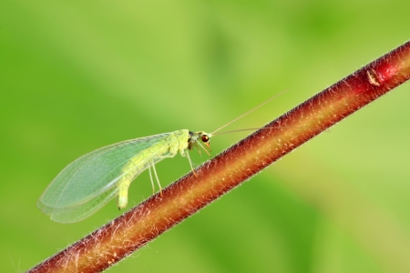 lacewing: lacewing flies on green leaf in the wild Stock Photo