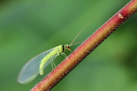 compound eye: lacewing flies on green leaf in the wild Stock Photo