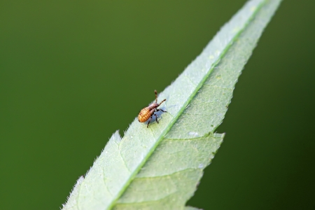 beneficial insect: black stinkbug larvae on green leaf in the wild natural state. Stock Photo