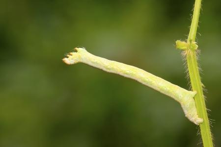 inchworm: geometrid on green leaf in the wild, closeup of photo