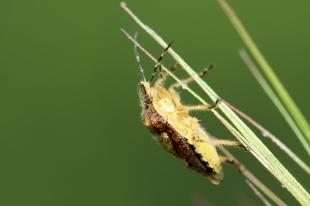 beneficial insect: stinkbug on green leaf in the wild natural state.