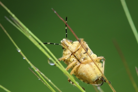 hemiptera: stinkbug on green leaf in the wild natural state.