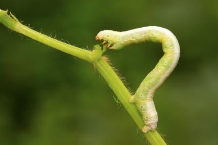 geometrid on green leaf in the wild, closeup of photo