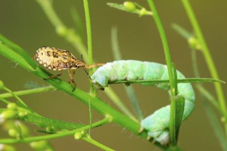 inchworm: stinkbug prey on inchworm larvae in the wild