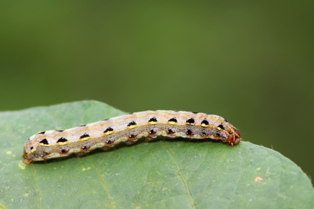 a kind of lepidoptera insects lurking on the leaves Stock Photo
