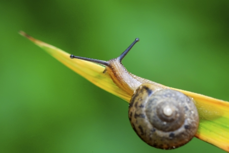 gastropoda: closeup of snail on green plant in the wild  Stock Photo
