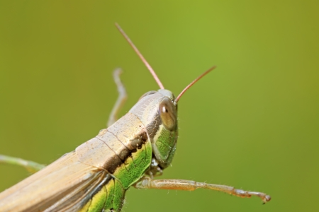 antennae: locusts on green leaf in the wild, closeup of photo