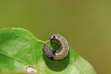 Moth insects larvae on green leaf in the wild