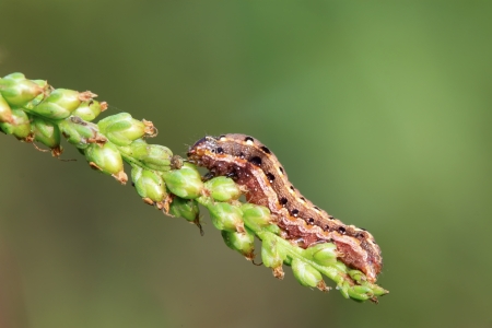 cilia: butterfly insect larvae on green leaf in the wild
