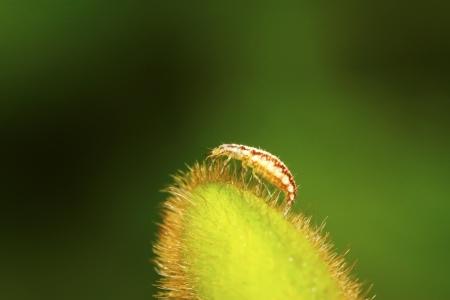 larvae: Big lacewing flies larvae - aphid lions on green leaf