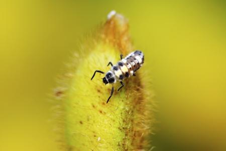 cilia: ladybug larvae on green plant in the wild, north china