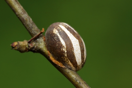a kind of pupa shell on green leaf