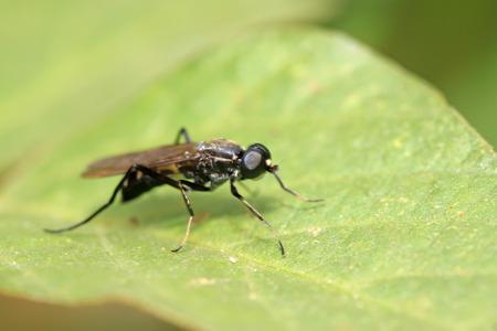 gadfly: a blackwater gadfly on a green leaf