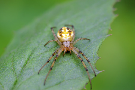 arachnids: spider on green leaf in the wild