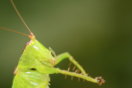 antennae: katydids nymphs on green leaf in the wild