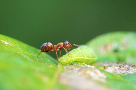 insecta: mercerized brown forest ants and green worm in the wild Stock Photo