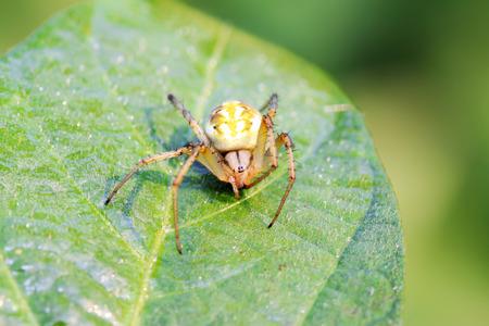 aracnidos: ara�a en la hoja verde en la naturaleza Foto de archivo