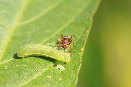 insecta: a kind of ants named mercerized brown forest ants, north china