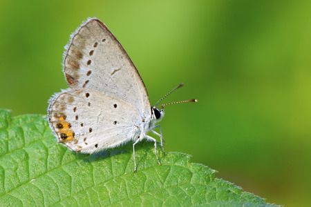 lycaenidae: a lycaenidae collection nectar on a flowers, in the natural wild state  Stock Photo