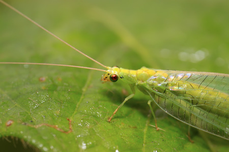lacewing: Lacewing flies on green leaf in the wild