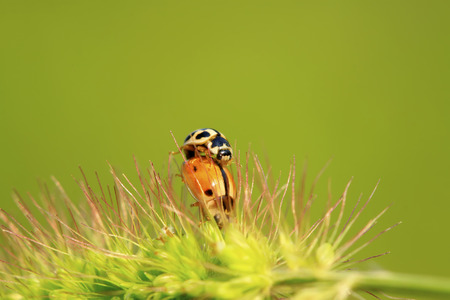 cilia: two ladybugs mating on green plant in the wild Stock Photo