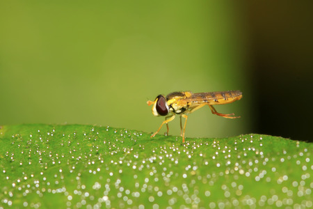 compound eye: a kind of insects named syrphidae in the wild Stock Photo