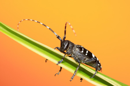 cerambycidae: Cerambycidae insects on green leaf in the wild, north china
