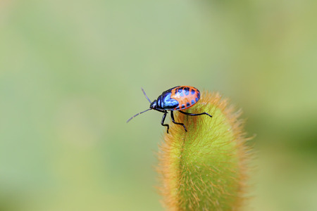 hemiptera: black stinkbug larvae on green leaf in the wild natural state. Stock Photo